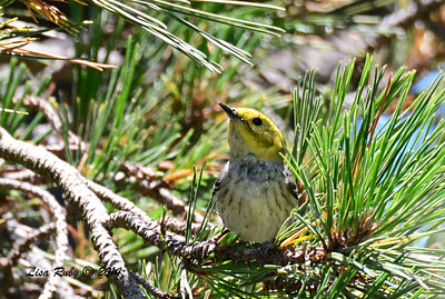 Hermit Warbler - 5/4/2014 - Fort Rosecrans National Cemetery