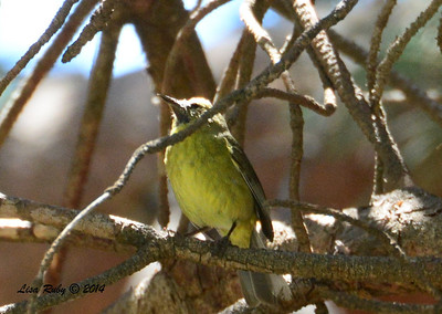 Orange-crowned Warbler - variant with large bill - 5/5/2014 - Fort Rosecrans National Cemetery