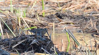 Wilson's Snipe - 12/09/2014 - Poway Creek
