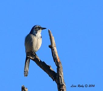 Western Scrube Jay - 12/09/2014 - Poway Creek