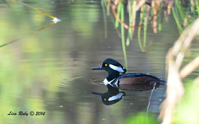 Hooded Merganser - 12/09/2014 - Poway Creek
