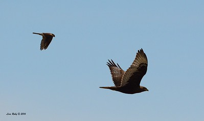 Dark morph Ferruginous Hawk and Kestrel - 12/7/2014 - Rangeland Road, Ramona