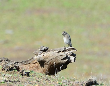 Female Mountain Bluebird - 12/7/2014 - Ramona Grassland Preserve