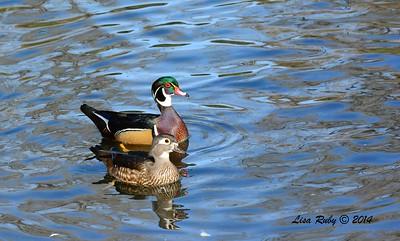 Wood Duck pair - 12/7/2014 - Pond at Dos Picos Park, Ramona