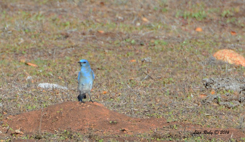 Mountain Bluebird - 12/7/2014 - Ramona Grasslands Preserve