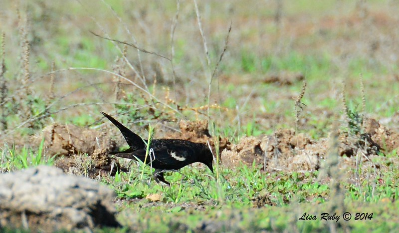 Tricolored Blackbird - 12/7/2014 - Rangeland Road, Ramona
