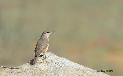 Rock Wren - 12/7/2014 - Ramona Grassland Preserve