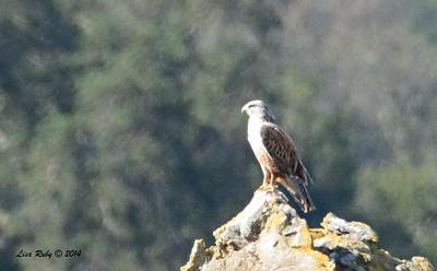 Ferruginous Hawk - 12/7/2014 - Rangeland Road, Ramona