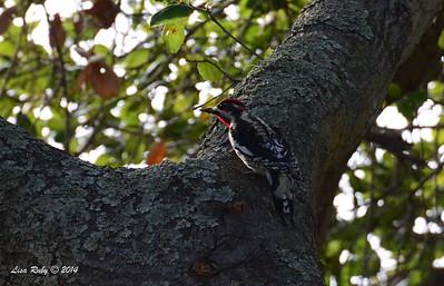 Red-naped Sapsucker - 12/7/2014 - Dos Picos Park, Ramona