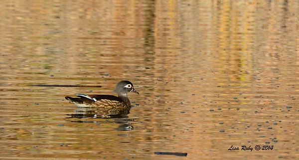 Female Wood Duck - 12/7/2014 - Poway Pond