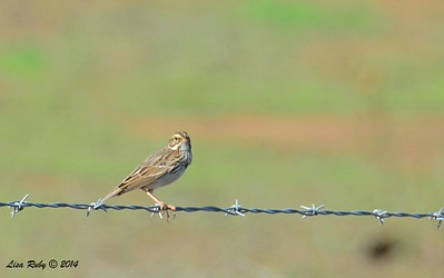 Savannah Sparrow - 12/7/2014 - Rangeland Road, Ramona