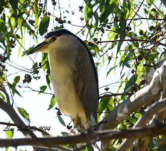 Black-crowned Night Heron  - 12/14/2014 - Poway Pond