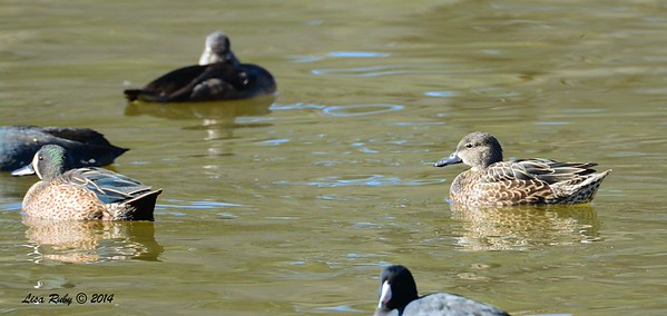 Male and female Blue-winged Teals  - 12/14/2014 - Poway Pond