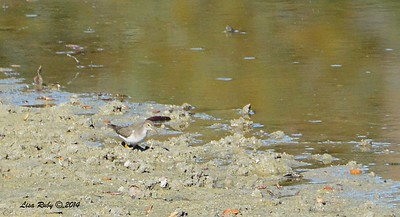Spotted Sandpiper  - 12/14/2014 - Poway Pond (private side)
