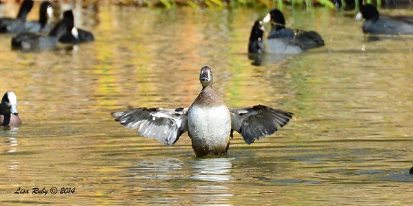 Female Ring-necked Duck - 12/14/2014 - Poway Pond