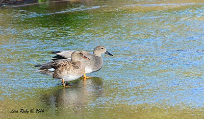 Gadwall pair - 12/14/2014 - Poway Creek
