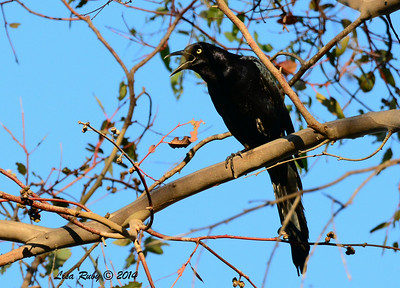 Great-tailed Grackle - 7/6/2014 - Poway Pond