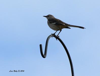 Northern Mockingbird - 1/4/14 - Bajada street, Rancho Bernardo, CBC