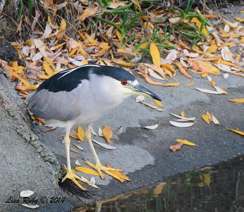 Black-crowned Night Heron - 1/4/14 - Country Club of Rancho Bernardo, CBC