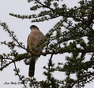 Cooper's Hawk - 1/4/14 - Country Club of Rancho Bernardo, CBC