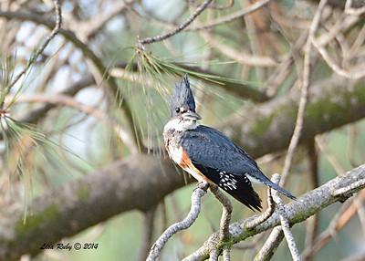 Female Belted Kingfisher - 1/4/14 - Rancho Bernardo Inn Golf Course, CBC