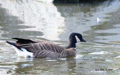 Cackling Goose - 1/4/14 - Webb Park, CBC