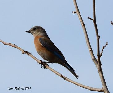 Western Bluebird - 1/4/14 - Bernardo Winery, CBC