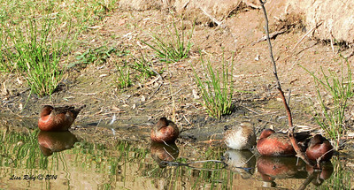 Cinnamon Teals - 1/4/14 - Golf Course Pond behind Bernardo Winery, CBC