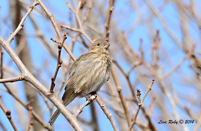 Female House Finch - 1/4/14 - Bernardo Winery, CBC
