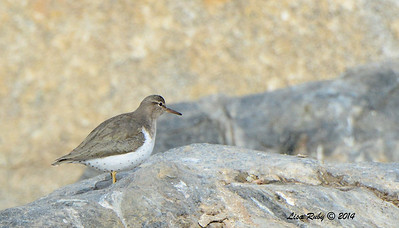 Spotted Sandpiper with actual spots! - 1/4/14 - Webb Park, CBC