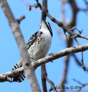 Female Nutall's Woodpecker - 1/4/14 - Valle Verde Park, Rancho Bernardo, CBC