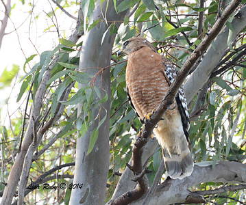 Red-shouldered Hawk - 1/4/14 - Country Club of Rancho Bernardo, CBC