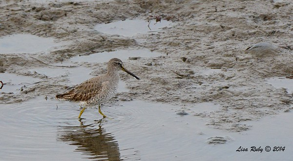 Short-billed Dowitcher  - 12/19/2014 - Robb Field