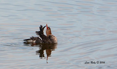Red-breasted Merganser  - 12/19/2014 - Robb Field