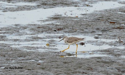 Greater Yellowlegs  - 12/19/2014 - Robb Field
