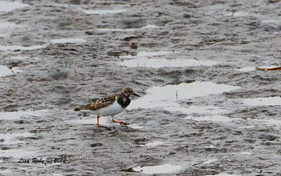 Ruddy  Turnstone - 12/19/2014 - Robb Field