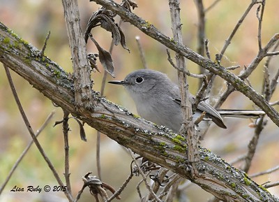 Blue-gray Gnatcatcher - 4/23/2015 - Sabre Springs by the creek