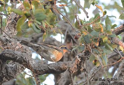 Varied Thrush - 11/28/2014 - San Diego Botanic Garden, Encinitas