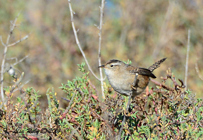 Marsh Wren - 2/1/14 - North Rios Trail San Elijo Lagoon