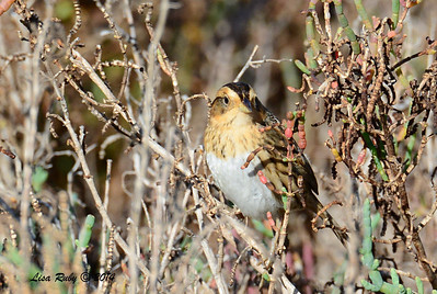 Nelson's Sharp-tailed Sparrow - 2/1/14 - North Rios Trail San Elijo Lagoon