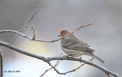 House Finch - 12/29/2014 - Julian Cemetery