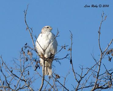 Ferruginous Hawk # 2- 12/29/2014 - Rangeland Road, Ramona