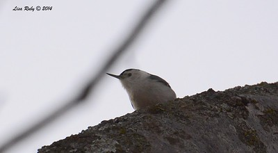 White-breasted Nuthatch - 12/29/2014 - Julian Cemetery