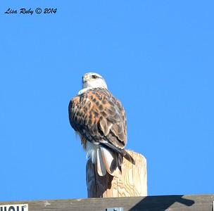 Ferruginous Hawk #3 - 12/29/2014 - Rangeland Road, Ramona