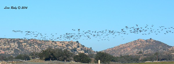 Canada Geese - 12/29/2014 - Rangeland Road, Ramona