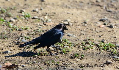 Brewer's Blackbird - 12/29/2014 - Lindo Lakes