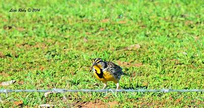 Western Meadowlark - 12/29/2014 - Rangeland Road, Ramona