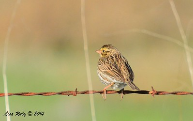 Savannah Sparrow - 12/29/2014 - Rangeland Road