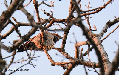 Northern Flicker - 12/29/2014 - Julian Cemetery