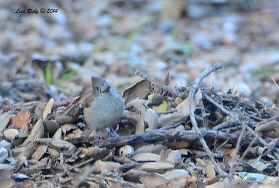 Oak Titmouse - 12/29/2014 - Pine Hills Road, Julian